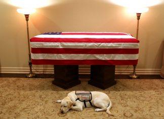 Labrador Sully acompanhou o ex-presidente George W.H. Bush. Foto: Twitter/Jim McGrath/Reprodução