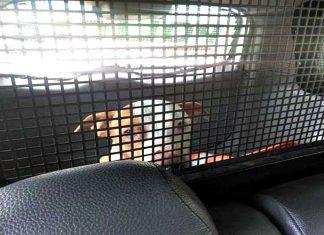 A PM usou carne para atrair pitbull. Foto: PM/Divulgação