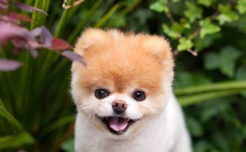 Boo, conhecido como o cachorro mais fofo do mundo. Foto: Facebook/Divulgação