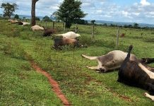 Animais morreram próximo a cerca de fazenda, em Aparecida do Taboado (MS). Foto: Costa Leste News/Reprodução