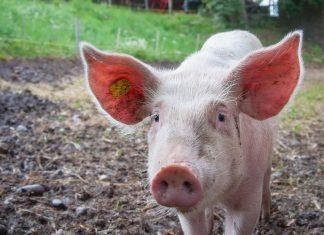 Porco. Foto: Pexels