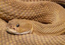 Cobra. Foto: Pixabay