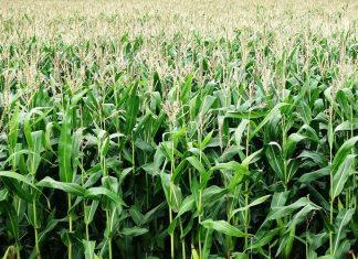 Plantação de milho. Foto: Pixabay
