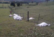 Queda de raio mata 16 cabeças de gado. Foto: Reprodução