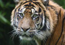 Estados Unidos registra caso de coronavírus em tigre. Foto: Pixabay