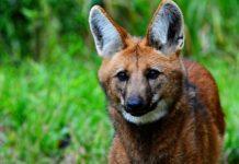 Lobo-guará. Foto: Wikipédia/Reprodução