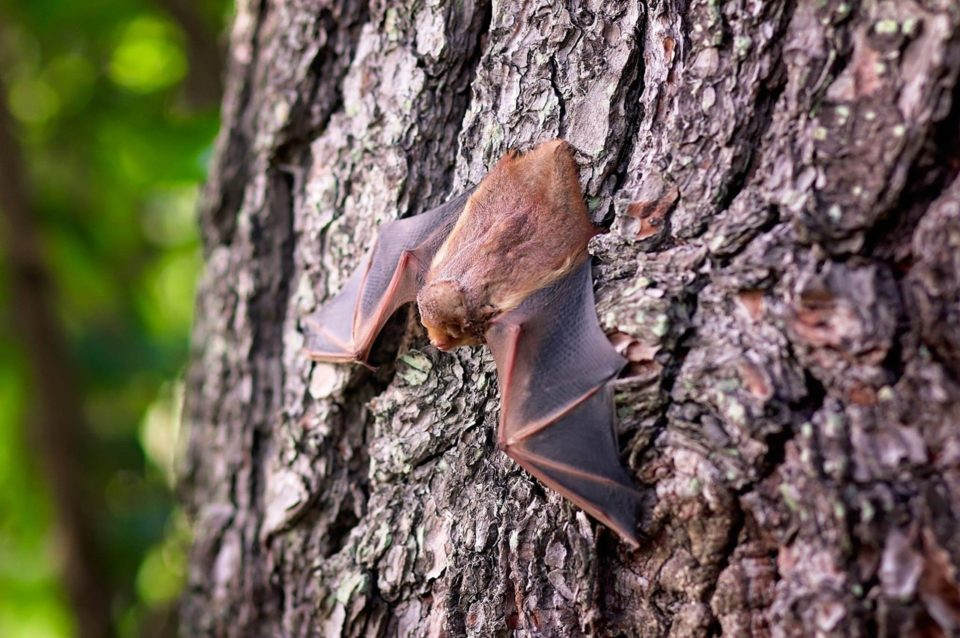 Novo vírus foi encontrado nas fezes de morcegos. Foto: Pixabay