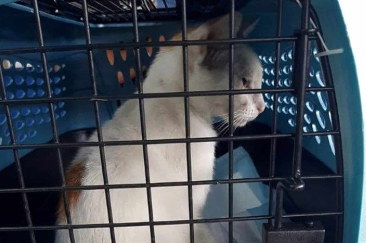 Animal era usado para transportar drogas. Foto: Panama's Prosecutor Office