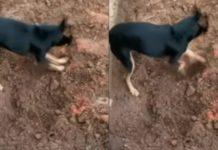 """Pinscher cava e """"entrega"""" o próprio dono para a Polícia Federal. Foto: Divulgação"""