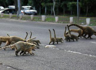 Um dos principais problemas nas rodovias de Mato Grosso do Sul é a morte de animais silvestres. Foto: Edemir Rodrigues/Divulgação