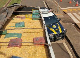 PRF apreende 13,8 toneladas de maconha sob carga de milho em Mundo Novo (MS). Foto: Divulgação