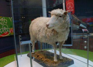 Ovelha Dolly. Foto: Mike Pennington/Creative Commons