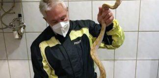 O especialista em répteis Werner Stangl segura uma cobra que picou o homem. Foto: Werner Stangl/Reprodução