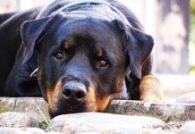 Rottweiler. Foto: Pixabay