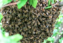 Enxame de abelhas. Foto: Pixabay